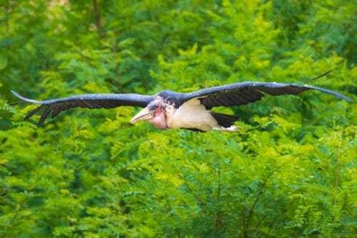 Marabù africano in volo