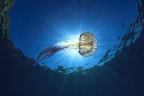 Tipi di meduse che vivono nel mare Mediterraneo