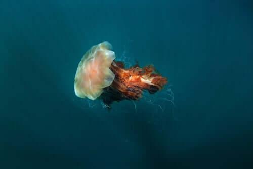 Criniera di leone: la medusa più grande al mondo