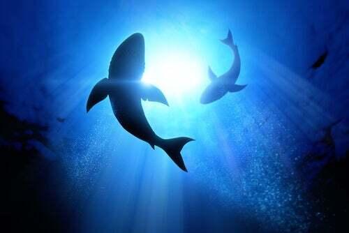 Le orche attaccano gli squali