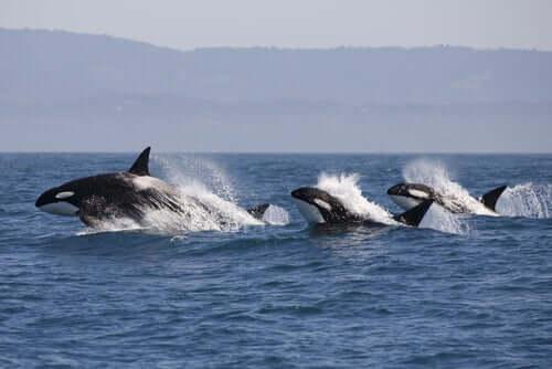 Orche che cacciano