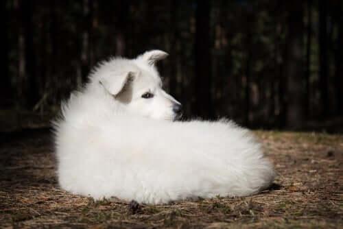 Il pastore svizzero bianco e il suo carattere diffidente