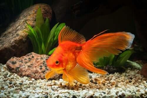 I pesci rossi hanno bisogno di un acquario grande?