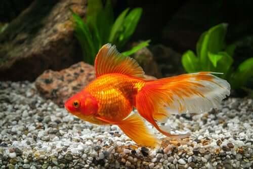 Pesce rosso che nuota
