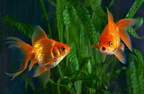 I pesci rossi nell'acquario