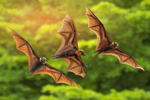I pipistrelli del Madagascar sono in pericolo