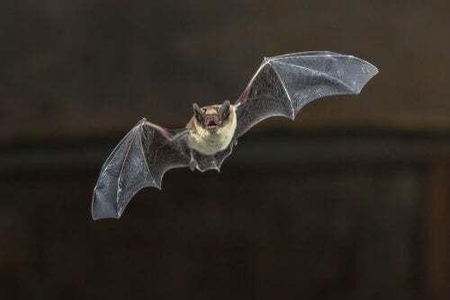 Pipistrello del Madagascar