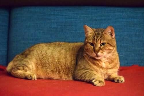 Pixie Bob, un gatto che assomiglia alla lince rossa