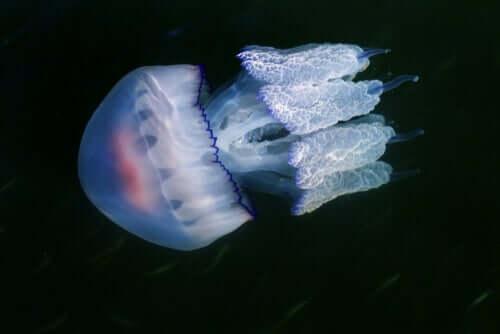 Il polmone di mare è uno dei più grandi tipi di medusa che vivono nel mare Mediterraneo