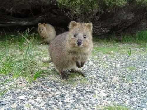 Il quokka: alla scoperta dell'animale più felice