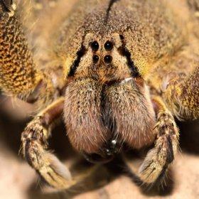 Ragno delle banane: habitat e caratteristiche di una specie pericolosa
