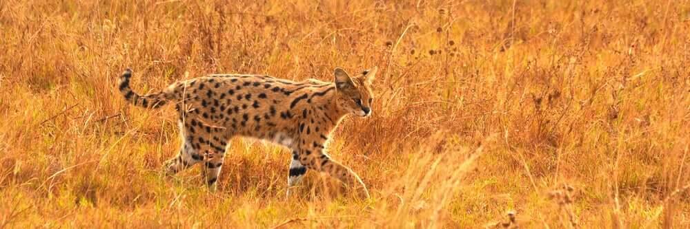 il serval vive nelle savane africane