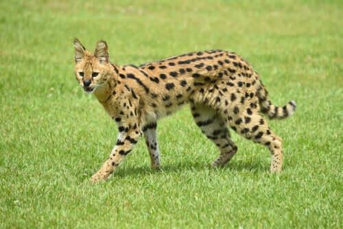 le lunghe zampe sono un'inconfondibile caratteristica del serval