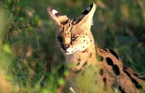 Il serval, ovvero il bellissimo gattopardo africano