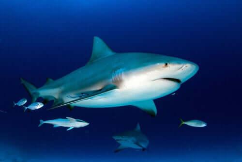 lo squalo toro si nutre di una notevole varietà di pesci, compresi i piccoli della loro stessa specie