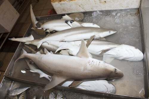 Importanza di accordo internazionale CITES per gli esemplari di squalo bianco