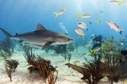 Habitat dello squalo tigre