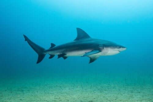 lo squalo toro può vivere tanto in acque salate quanto in acque dolci