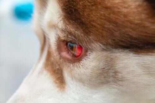 Versamenti oculari nei cani: come trattarli