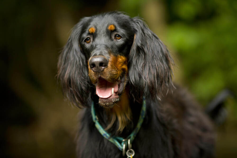 Gordon Setter, un cane di origine scozzese