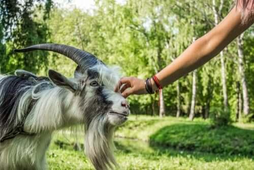 Persona che accarezza una capra