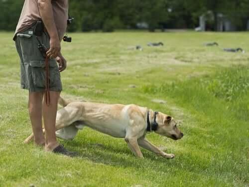 una moderata attività fisica è una buona misura preventiva contro l'artrite nel labrador retriever