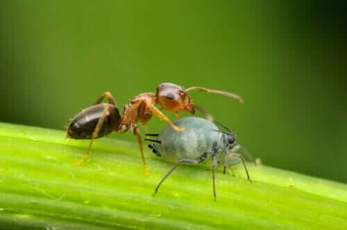 Amensalismo rappresentato dalle formiche