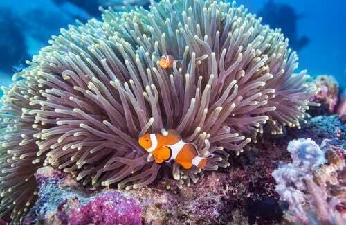 Anemone marino e pesce pagliaccio