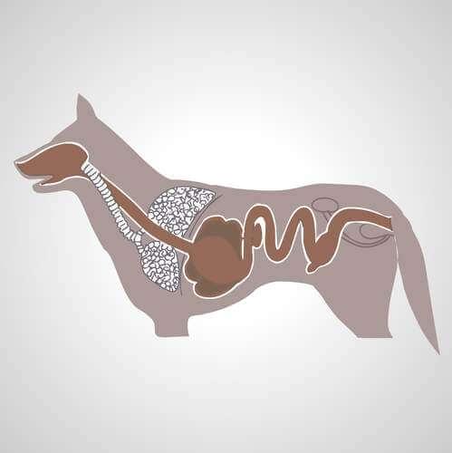Processo digestivo del cane