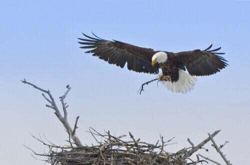 Aquila a rischio di estinzione