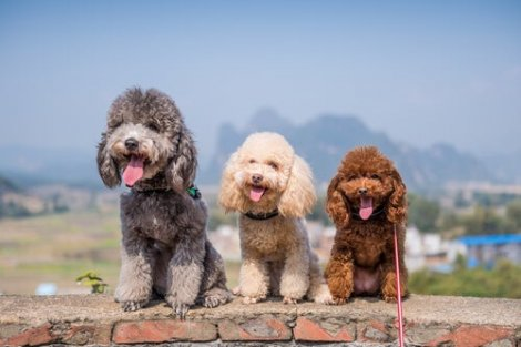 il barboncino è uno dei cani più intelligenti