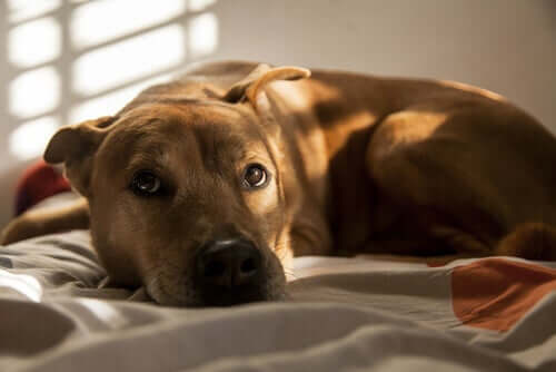 Cane pauroso sdraiato sul letto