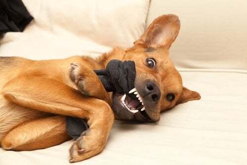 Cane possessivo nei confronti di un giocattolo