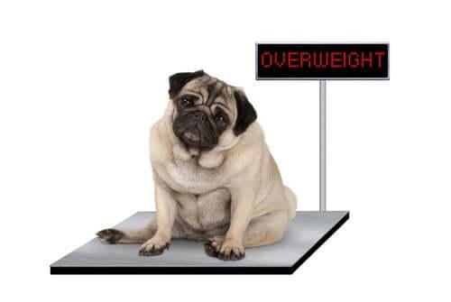il cibo per cani ad alto contenuto di proteine aiuta a perdere peso gli animali che soffrono di obesità