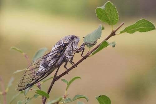 Canto della cicala