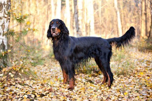 Gordon Setter, un meraviglioso cane scozzese