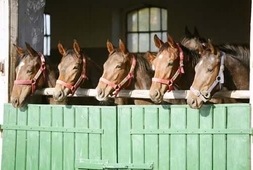 Cavalli dentro la stalla