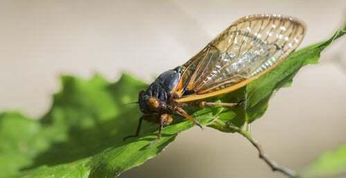 Qual è l'insetto più rumoroso in assoluto?