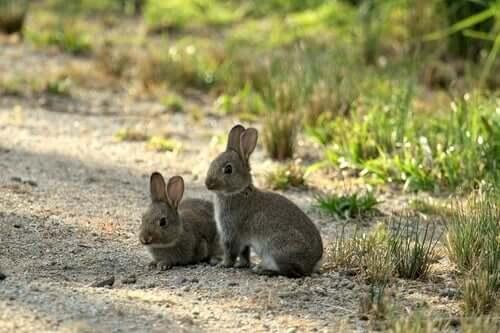 I conigli in Australia sono una piaga