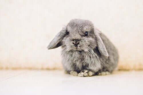 Coniglio ariete: caratteristiche e cure