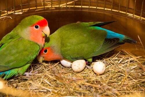 Coppia di pappagalli, tra le specie di uccelli tropicali da conoscere