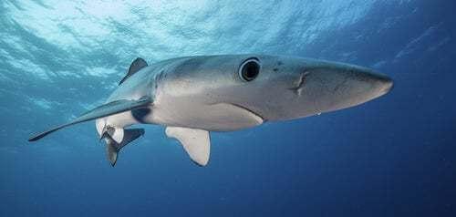 Cosa mangia lo squalo azzurro