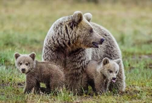 Mamma orsa con due orsetti
