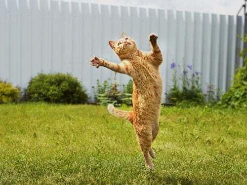 Gatto rosso che salta