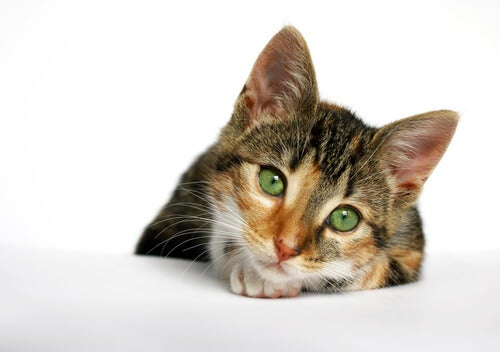 Gatto con il virus della immunodeficienza felina