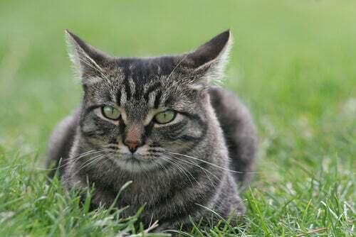Il gatto dell'isola di Man: un micione senza coda ma dolcissimo