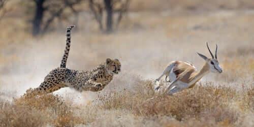 Ghepardo che insegue una gazzella