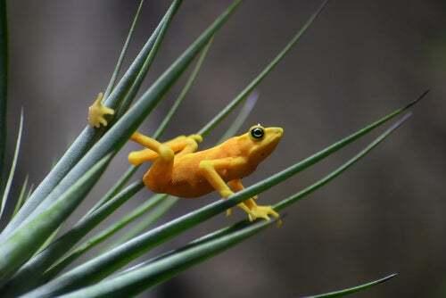 Habitat della rana dorata