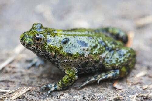 Bombinatoridae caratteristiche, alimentazione e habitat