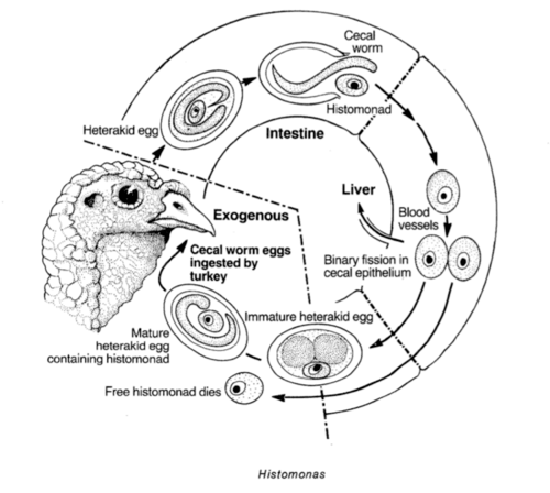 Histomonas